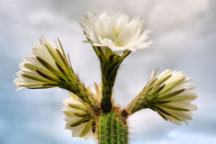 White cactus flowers against clouds Royalty Free Stock Photo