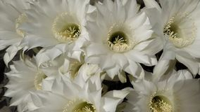 White cactus flowers. Floral, petal, beauty, stamen, nectar, nature, natural royalty free stock photos