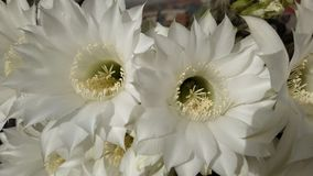 White cactus flowers. Floral, petal, beauty, stamen, nectar, nature, natural royalty free stock photography
