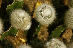 White cactus Royalty Free Stock Photos