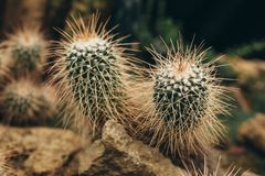 White cactus with sharp torns front view. White cactus with long sharp torns grows on stone ground in desert Royalty Free Stock Images