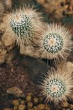 White cactus with sharp torns top view. White cactus with long sharp torns grows on stone ground in desert Stock Photo