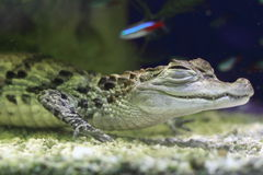 White caiman Royalty Free Stock Image