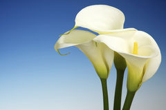 White Cala Lilies on a Blue Background Stock Images