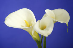 White Cala Lilies on Dark Blue Background. Beautiful white cala lilies on a dark blue background. The perfect Easter Flower royalty free stock image