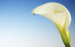 White Cala Lily on a Blue Background Royalty Free Stock Image
