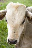 White Calf Royalty Free Stock Photography