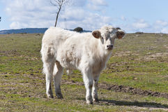 White calf Royalty Free Stock Images