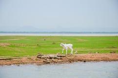 White calf. Royalty Free Stock Image