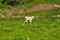 White Calf Stock Images