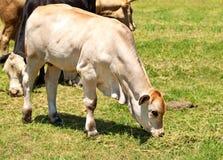 White calf australian beef cattle Stock Photos