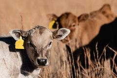 White calf with brown calf in background stock images