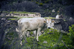 White calf Royalty Free Stock Image