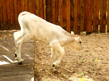 White calf jump and play after feeding Stock Image