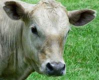 White calf stock image