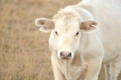 White Calf Stock Photos