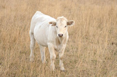 White Calf Royalty Free Stock Photo