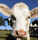 White calf square Stock Photos