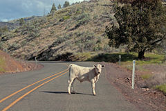 White Calf Standing In The Road. A stubborn calf stands in the middle of a mountain road Royalty Free Stock Image