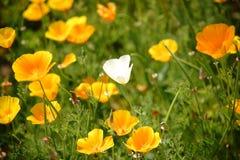 White California poppy flower Royalty Free Stock Images