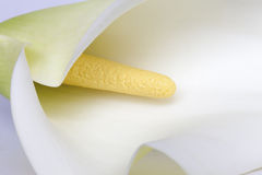 White calla blooming Royalty Free Stock Photos