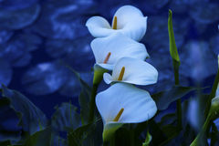 White calla. Close-up on a dark background Royalty Free Stock Photos