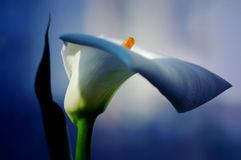 White calla with elegant curves royalty free stock photography