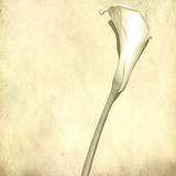 White calla flower royalty free stock photo