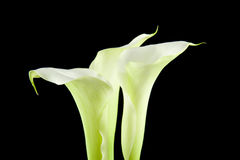 White Calla flower in closeup Royalty Free Stock Photo