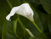 White Calla flower Stock Photography