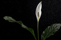White calla flower with rain on black background Stock Photos