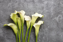 White calla flowers (Zantedeschia) on grey background,. Copy space Royalty Free Stock Photography
