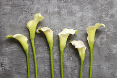 White calla flowers (Zantedeschia) on grey background,. Copy space Royalty Free Stock Photo