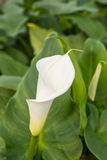 White calla with green leafs in the background Stock Images