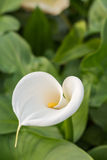White calla with green leafs in the background Stock Photography