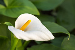 White calla with green leafs in the background Royalty Free Stock Photo