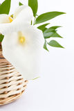 White Calla isolated in front of white background. White Calla Lily isolated white background. Closeup stock photography
