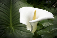 White calla and large leaf Royalty Free Stock Image