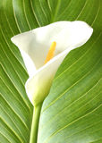 White calla with leaf  close-up Royalty Free Stock Image