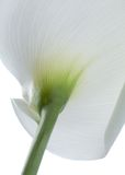 White CALLA LILIES Royalty Free Stock Photos