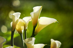 White Calla Lilies Stock Photography