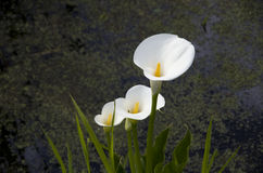White Calla Lilies. Beautiful white Calla Lilies growing in a pond in a botanical garden Stock Photo