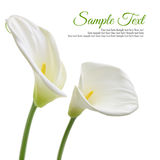 White calla lilies royalty free stock photography