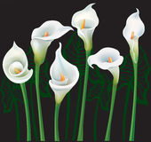 White Calla lilies. On black background Royalty Free Stock Photo
