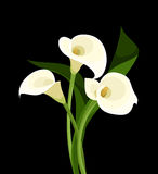 White calla lilies on black. Illustration of white calla lilies on a black background Royalty Free Stock Photography