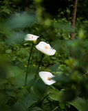 White Calla Lilies blooming in the forest. White calla Lilies blooming in the dark forest Stock Photos