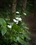 White Calla Lilies blooming in the forest. White calla Lilies blooming in the dark forest Stock Photo