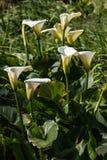 White calla lilies Royalty Free Stock Photos