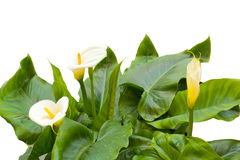 White Calla lilies with leaf Royalty Free Stock Photo