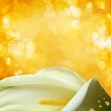 White calla lilies Stock Photos